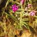 Pincushion Vernonia - Photo (c) Casper van Zyl, some rights reserved (CC BY-NC)