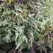 Hypnum jutlandicum - Photo (c) deboas, algunos derechos reservados (CC BY)