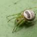 Araneus mitificus - Photo (c) budak, algunos derechos reservados (CC BY-NC)