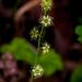 Mitella nuda - Photo (c) Janet Nelson, algunos derechos reservados (CC BY-NC-ND)