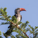 Toco Coronado - Photo (c) Peter Steward, algunos derechos reservados (CC BY-NC)