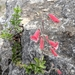Rock Penstemon - Photo (c) Alison Northup, some rights reserved (CC BY)