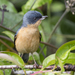 Rusty Flowerpiercer - Photo (c) Oswaldo Hernández, some rights reserved (CC BY-NC)