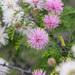 Mimosa borealis - Photo (c) Greg Lasley, algunos derechos reservados (CC BY-NC)