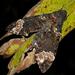 Coelonia fulvinotata - Photo (c) Frank Vassen, algunos derechos reservados (CC BY)