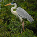 Cocoi Heron - Photo (c) Paul Donahue, some rights reserved (CC BY-NC)