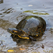 Tortuga de Guadalupe - Photo (c) Juan Carlos Delgado, algunos derechos reservados (CC BY-NC)
