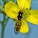 Melanostoma scalare - Photo (c) Marcello Consolo,  זכויות יוצרים חלקיות (CC BY-NC-SA)