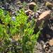 Cliffortia pulchella pulchella - Photo no rights reserved