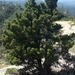 Santa Cruz Cypress - Photo (c) dgreenberger, some rights reserved (CC BY-NC-ND)