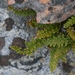 Lace Lip Fern - Photo (c) randomtruth, some rights reserved (CC BY-NC-SA)