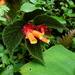 Begonia lehmannii - Photo no hay derechos reservados