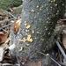 Aleurodiscus patagonicus - Photo (c) Cristian Riquelme,  זכויות יוצרים חלקיות (CC BY)