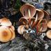 Marasmius cohaerens - Photo (c) tombigelow, algunos derechos reservados (CC BY-NC)