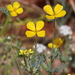 Eschscholzia minutiflora - Photo (c) Nature Ali,  זכויות יוצרים חלקיות (CC BY-NC-ND)