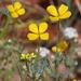 Eschscholzia minutiflora - Photo (c) Nature Ali, algunos derechos reservados (CC BY-NC-ND)