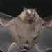 Murciélagos con Hoja Nasal - Photo (c) Arthur Tahara, algunos derechos reservados (CC BY-NC-ND)