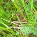 Kiinanloikkahiiri - Photo (c) mintren, osa oikeuksista pidätetään (CC BY-NC)