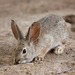 Desert Cottontail - Photo (c) Alan Vernon, some rights reserved (CC BY-NC-SA)