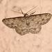 Ectropis bhurmitra