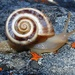 Fynbos Pinwheel Snail - Photo (c) Tony Rebelo, some rights reserved (CC BY-SA)