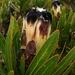 Protea lepidocarpodendron - Photo (c) Tony Rebelo,  זכויות יוצרים חלקיות (CC BY-SA)