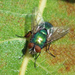 Caesar Greenbottle Fly - Photo (c) Fred's Uncle, some rights reserved (CC BY-NC-SA)
