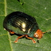 Metallic Green Acacia Beetle - Photo (c) Pete Woodall, some rights reserved (CC BY-NC)
