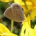 Eicochrysops messapus messapus - Photo (c) Tony Rebelo, algunos derechos reservados (CC BY-SA)