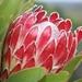 Protea obtusifolia - Photo (c) suewhitelaw, algunos derechos reservados (CC BY-NC)