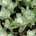 Psilocarphus brevissimus - Photo (c) Don Loarie, algunos derechos reservados (CC BY)