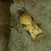 Cyclamen Tortrix - Photo (c) Michał Brzeziński, some rights reserved (CC BY-NC)