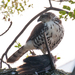 Accipiter tachiro tachiro - Photo (c) magriet b, some rights reserved (CC BY-SA)