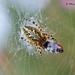 Araña Hoja de Roble - Photo (c) Marcello Consolo, algunos derechos reservados (CC BY-NC-SA)