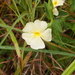 Thunbergia neglecta - Photo (c) Andrew Massyn,  זכויות יוצרים חלקיות (CC BY-NC)