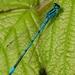 Coenagrion puella - Photo (c) Roger Sanderson, algunos derechos reservados (CC BY-NC)