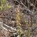 Holothrix burchellii - Photo (c) Charles Stirton, algunos derechos reservados (CC BY-SA)