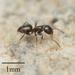 Brachymyrmex patagonicus - Photo Ningún derecho reservado