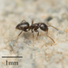 Dark Rover Ant - Photo no rights reserved
