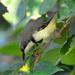 Apalis thoracica - Photo (c) Ian White,  זכויות יוצרים חלקיות (CC BY-ND)