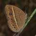 Brakefieldia perspicua - Photo (c) Andrew Hankey,  זכויות יוצרים חלקיות (CC BY-SA)