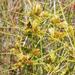 Cyperus polystachyos polystachyos - Photo (c) Charles Stirton, algunos derechos reservados (CC BY-SA)