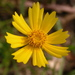 Lance-leaved Coreopsis - Photo (c) David Midgley, some rights reserved (CC BY-NC-ND)
