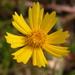 Coreopsis lanceolata - Photo (c) David Midgley,  זכויות יוצרים חלקיות (CC BY-NC-ND)