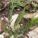 Acalypha angustata - Photo (c) Andrew Hankey, algunos derechos reservados (CC BY-SA)