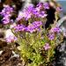 Erinus alpinus - Photo (c) Michael Slattery,  זכויות יוצרים חלקיות (CC BY-NC-ND)