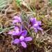Raphionacme hirsuta - Photo (c) juddkirkel, alguns direitos reservados (CC BY-NC)