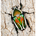Derby's Flower Beetle - Photo (c) peterwebb, some rights reserved (CC BY-NC)