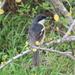 Laniarius ferrugineus natalensis - Photo (c) lorainevdb, algunos derechos reservados (CC BY-NC)
