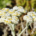 Helichrysum crispum - Photo (c) Richard Adcock,  זכויות יוצרים חלקיות (CC BY-NC)